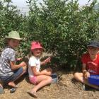 Fletcher Riley (9, left), Zara Riley (6) and Theo Gleeson (10) pick their own blueberries. Photos...