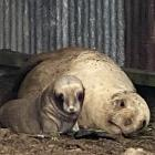 Sea lion Matariki and her young pup died after they were struck by a car near Kaka Point on...