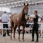 Handler Alana Cameron parades the sales topping colt by Love You from Queen Kenny at yesterday's...