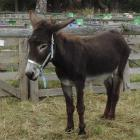 There will be a donkey competition class at the Palmerston and Waihemo A&P Show this weekend.