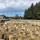 A large yarding for this year's Sheffield Ewe Fair will mean it is split over two saleyard sites....
