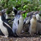 Yellow-eyed penguins raised in captivity explore their surroundings minutes after release into...