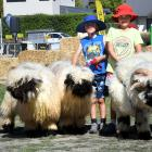 Getting to walk perhaps the cutest sheep in New Zealand — Valais Blacknose sheep — while at the...
