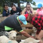 Ashburton College year 11 agricultural science student Mia Christie controls a ewe after learning...