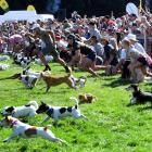 Dogs and owners spring into action at the start of the Jack Russell race at the Wanaka A&P...