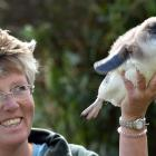 Blue Penguins Pukekura scientist Hiltrun Ratz holds an unusually chubby little penguin from the...