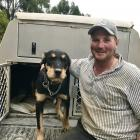 Cam Bain, of Moa Flat, has enjoyed early success in the dog trialling circuit this season. Photo:...