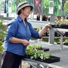 Nichol's Garden Centre Dunedin sales assistant Kerry-Anne Smith with largely empty shelves,...
