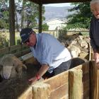 Malvern Downs farmer Robbie Gibson and his father Bill Gibson try to rein in the rams on the...