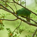 A flock of kākāriki karaka, or orange-fronted parakeets, have been released in the Canterbury...