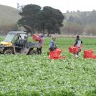 Fresh veg . . . Rangeview Produce staff harvest and load lettuces in a Shortland Rd paddock....