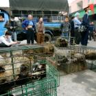 Guangzhou government officers seize civet cats in Xinyuan wildlife market in Guangzhou. Photo:...