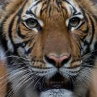 Nadia, a 4-year-old female Malayan tiger at the Bronx Zoo, which the zoo says has tested positive...
