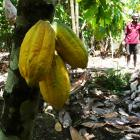 Ocho chocolate was developed from relationships with cocoa growers in the Pacific. PHOTO: SUPPLIED