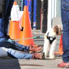 A women rests her bandaged leg outside a North Dunedin pharmacy with her dog after being attacked...