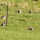 A rabbit control model was presented to the Otago Regional Council yesterday. PHOTO: STEPHEN...