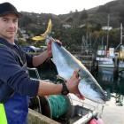Expensive fish ... Dunedin commercial fisherman Leighton Kirk with a kingfish which was caught in...
