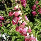 Penstemons pretty much tick all the boxes.PHOTO: SUPPLIED