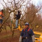 Robin Tuku at work in Strode Road Orchard near Clyde. He and his fellow Vanuatuan workers remain...