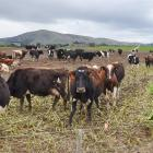 Hot topic...Work is being done to improve winter grazing practices. PHOTO: GREGOR RICHARDSON
