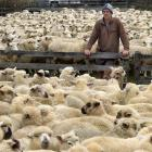 Chris Dagg looks over lambs ready to go to the works. PHOTO: STEPHEN JAQUIERY