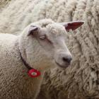 The Smart Shepherd collar measures the maternal performance of livestock. PHOTO: SUPPLIED