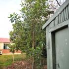 This young Moreton Bay fig tree is growing surprisingly well behind the demolished St James...