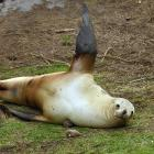A 3-week-old sea lion pup and its mother on Allans Beach farmland in January this year. PHOTO:...