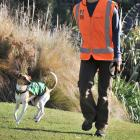 Conservation dog Tussock, with owner and handler Alex Ghaemagham, during a training session in...