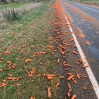 Hundreds of carrots line the Waipahi Highway in Southland after a truck lost its load yesterday....