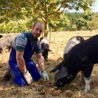 Josh Hill checks up on his pigs at his Poaka Free Range Pigs farm. PHOTO: SUPPLIED BY JOSH HILL