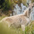 The Department of Conservation says tahr have become a major threat to ecosystems in alpine areas...