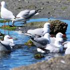 The red-billed gull is now listed as at risk. Photo: Paul Corliss