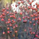 Rose hips can be used in floral arrangements and vitamin C-rich recipes.