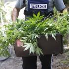 A police officer carries cannabis plants seized during a raid in Northland. PHOTO: SUPPLIED