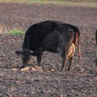 Evidence of calves being born in muddy winter grazing paddocks on Southland farms has outraged...