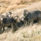 The New Zealand Merino Company says consumers are looking for natural products. PHOTO: STEPHEN...