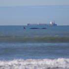 A southern right whale was spotted close to New Brighton Beach yesterday. Photo: Genevieve Robinson