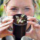 Nichol's Garden Centre marketing manager Annabel Roy holds a highly sought-after Philodendron...