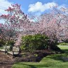 Magnolia Serene (left) and Prunus Accolade in the herbaceous border at Dunedin Botanic Garden....
