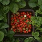 Consumers are being urged to throw out strawberries purchased over the past week in Queensland,...