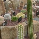 Various cacti start flowering in the winter garden glasshouse at Dunedin Botanic Garden.PHOTO:...
