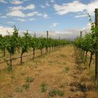 Grapes grow under the Central Otago sun at  Three Miners Vineyard in Earnscleugh. Photos by Jeff...