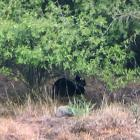 This big, black cat-like creature was snapped just metres from a property on Horotane Valley Rd,...
