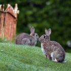Rabbits at the Otakou Maori Cemetery yesterday. PHOTO: STEPHEN JAQUIERY