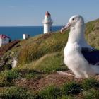 Albatross are making their way back to Taiaroa Head. Photo: supplied