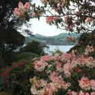 Rhododendron CIS  frames a harbour view. PHOTOS: GILLIAN VINE