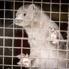 Denmark says there are between 15 million and 17 million mink in the country. Photo: Reuters