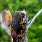 A kaka enjoys  nectar-filled harakeke flowers. PHOTO: GIVERNY FORBES