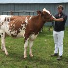 Rangiora farmer Robbie Wakelin leads his 2-year-old red Holstein cow Belbrook US Seisme-Red-ET...